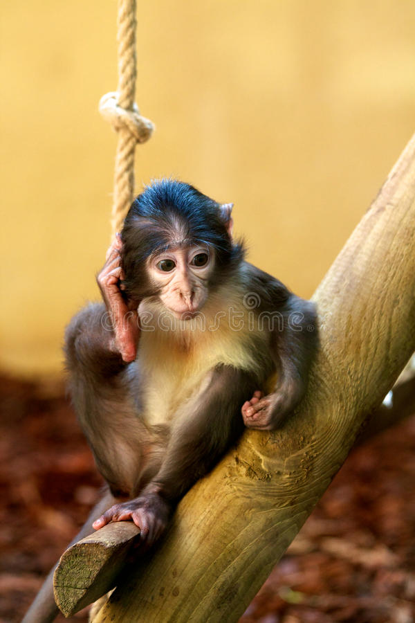 Macaco pequeno fotografia de stock