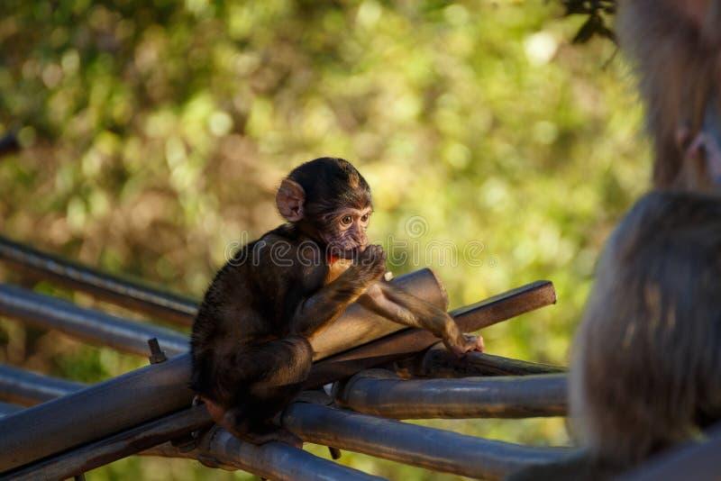 Macaco pequeno de assento com fundo verde fotografia de stock royalty free