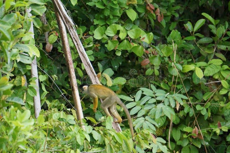 Macaco pequeno na selva peruana gostoso fotografia de stock
