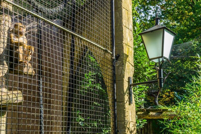Macaco prendido atrás de uma cerca do metal em sua gaiola que olha exterior e que senta-se em um polo fotos de stock