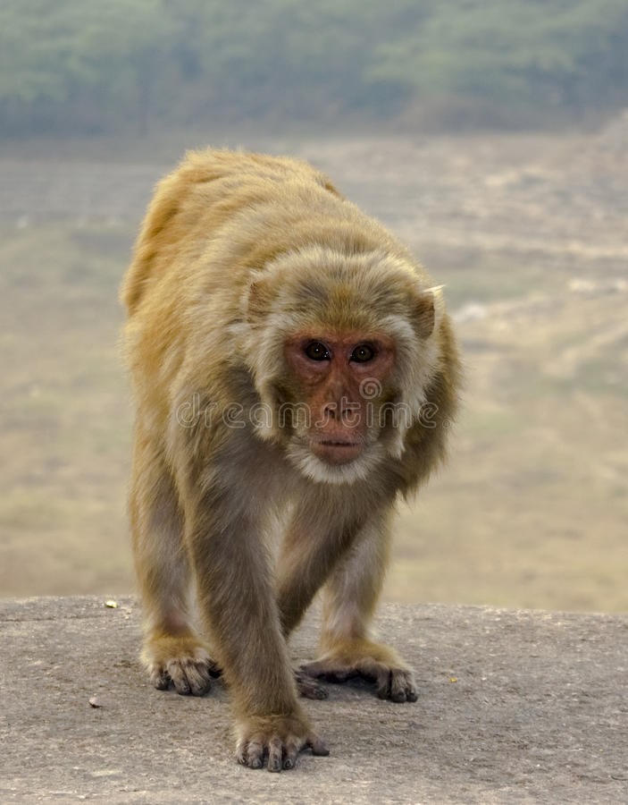 Download Macaco Que Anda Na Parede De Pedra Foto de Stock - Imagem de nave, mamífero: 12806990