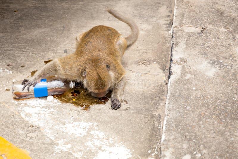 Macaco que bebe a água efervescente na estrada imagens de stock royalty free