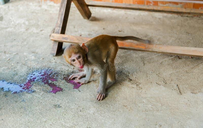 Macaco que bebe o néctar vermelho foto de stock
