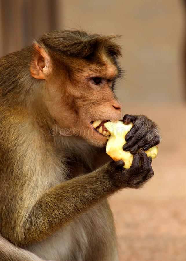 Macaco que come Apple fotografia de stock royalty free