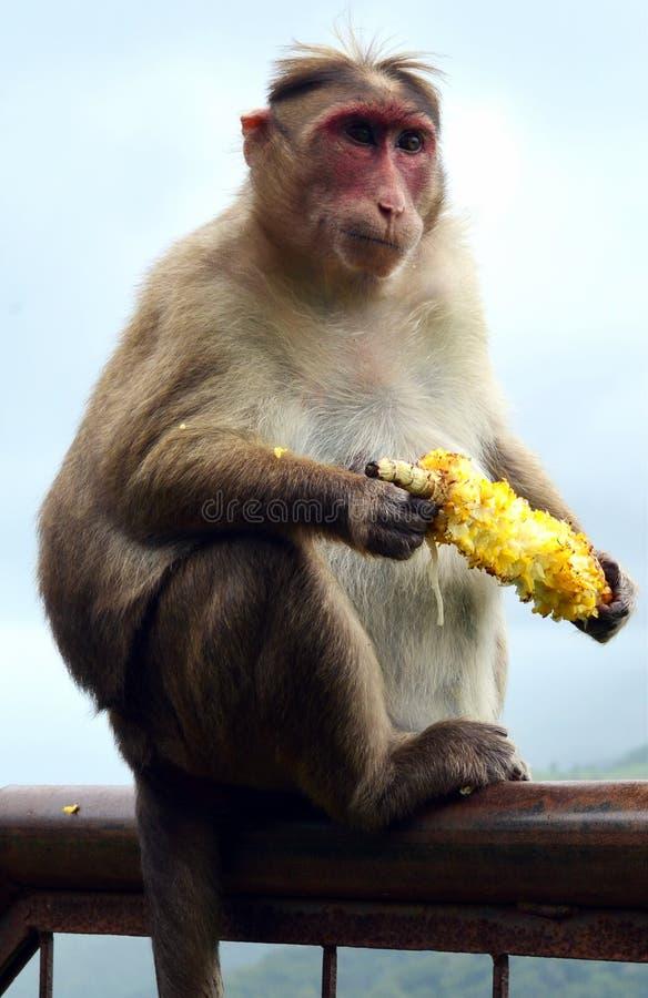 Macaco que come o milho foto de stock royalty free