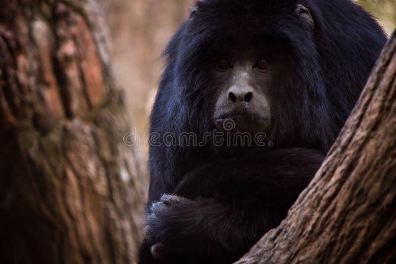 Macaco que espreita através das árvores fotografia de stock