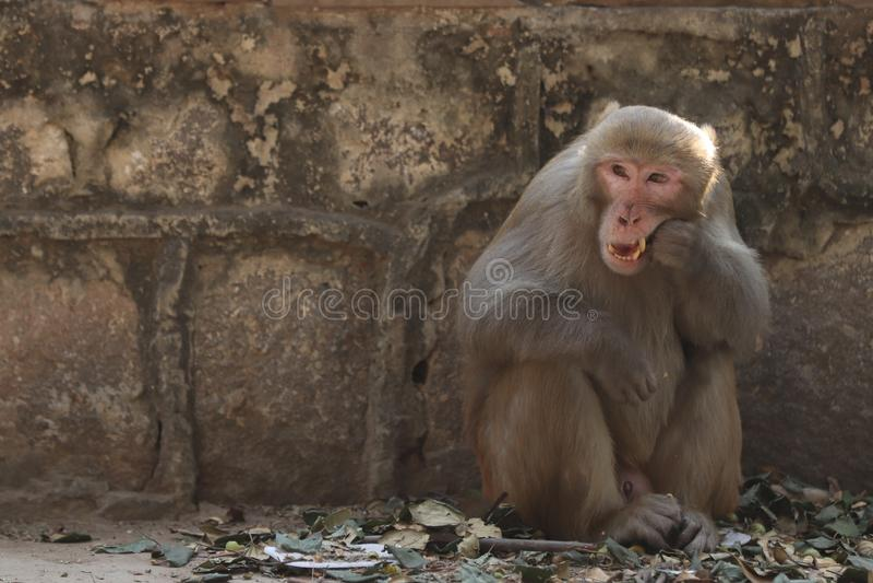 Macaco que faz a escova de dentes foto de stock royalty free