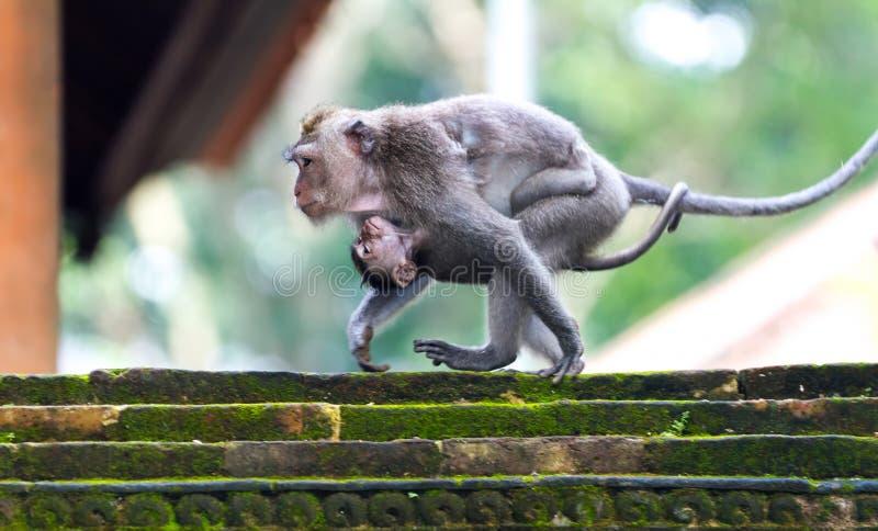 Macaco que mooving com um bebê fotografia de stock royalty free