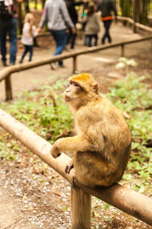 Macaco que olha ao redor em Salem, Alemanha imagem de stock royalty free