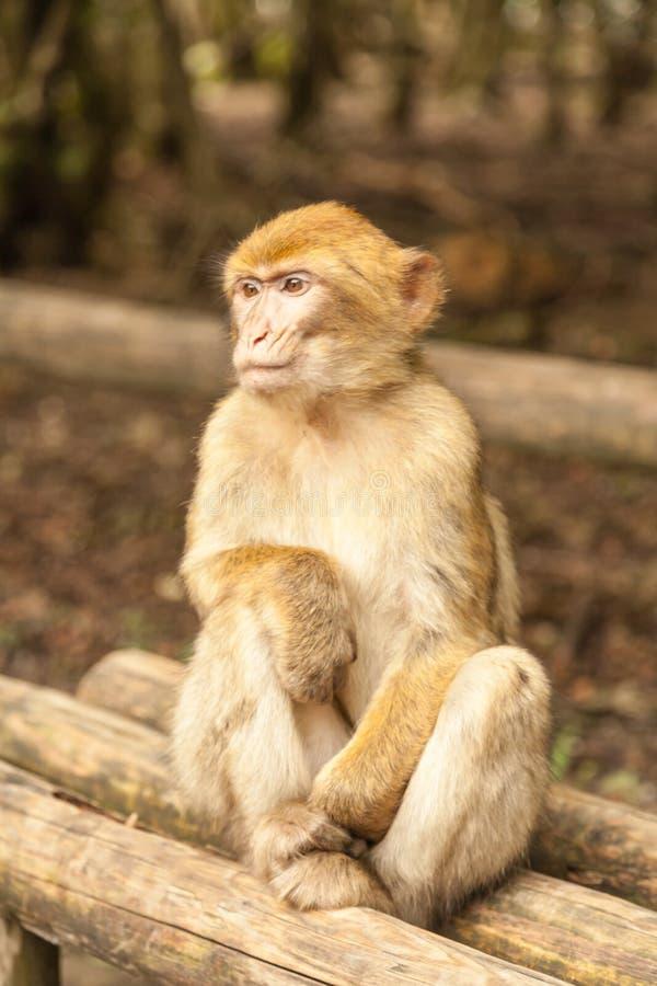 Macaco que olha ao redor em Salem, Alemanha fotos de stock