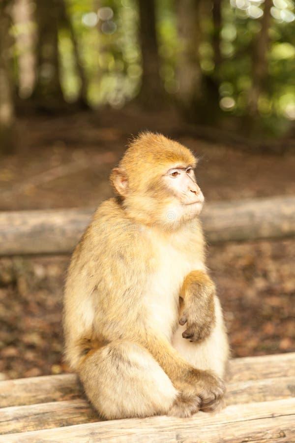 Macaco que olha ao redor em Salem, Alemanha imagens de stock