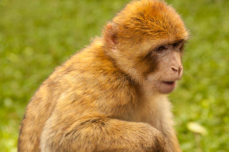 Macaco que olha ao redor em Salem, Alemanha imagens de stock royalty free