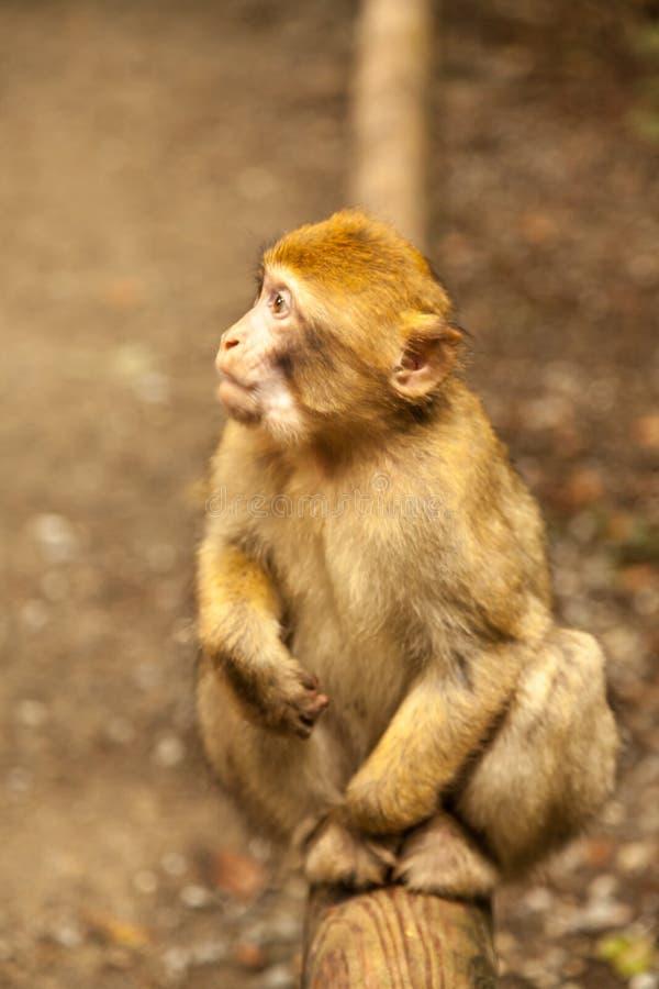 Macaco que olha ao redor em Salem, Alemanha imagem de stock