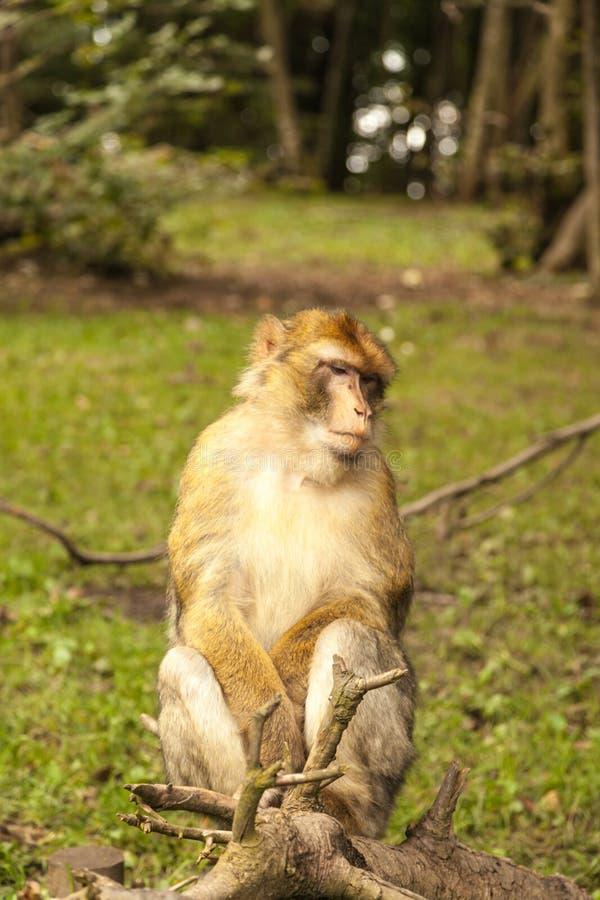Macaco que olha ao redor em Salem, Alemanha fotografia de stock royalty free