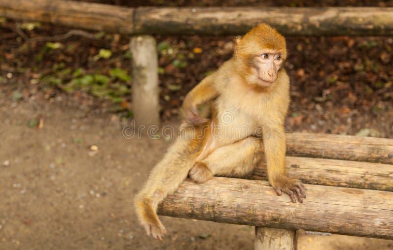 Macaco que olha ao redor em Salem, Alemanha foto de stock royalty free