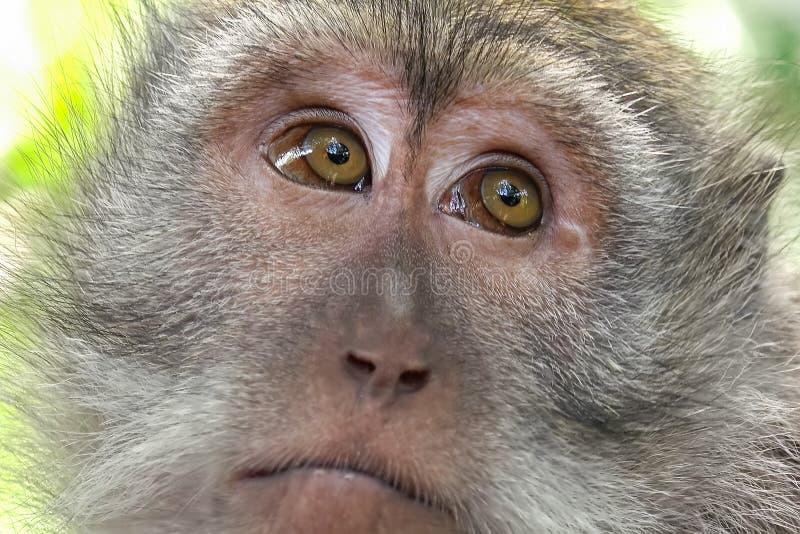 Macaco que olha ao redor Natureza selvagem de Bali, Indonésia foto de stock royalty free