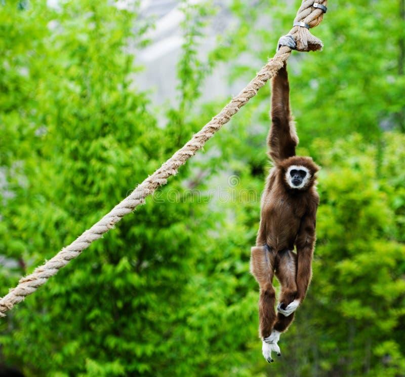 Macaco que pendura para fora foto de stock royalty free