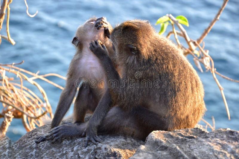 Macaco que prepara seu bebê em um penhasco acima de um mar imagens de stock royalty free