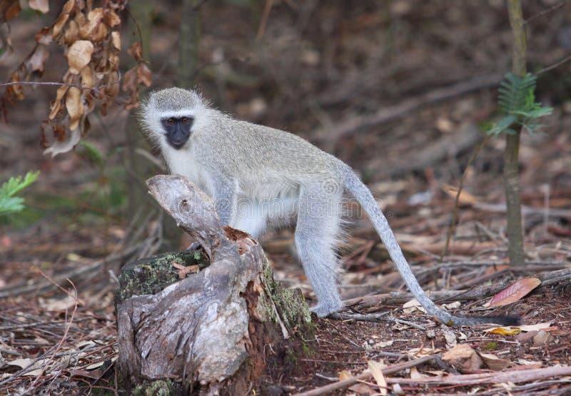 Macaco que procura o alimento foto de stock