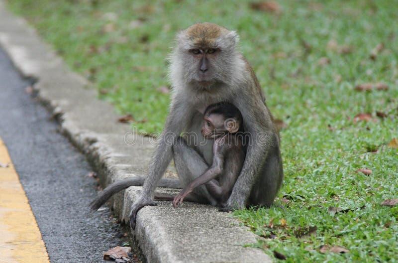 Macaco que protege um bebê imagens de stock royalty free