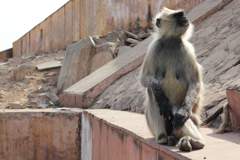Macaco que senta-se na parede de pedra de desintegração fotos de stock