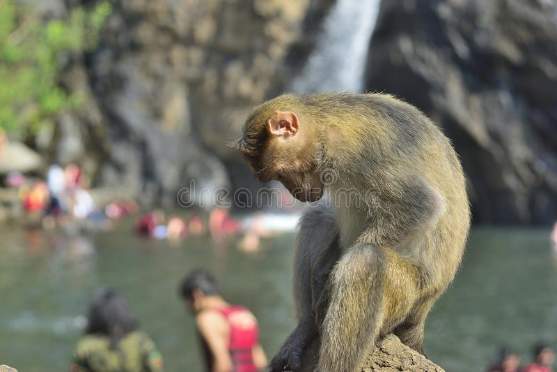 Macaco que senta-se na pedra foto de stock royalty free