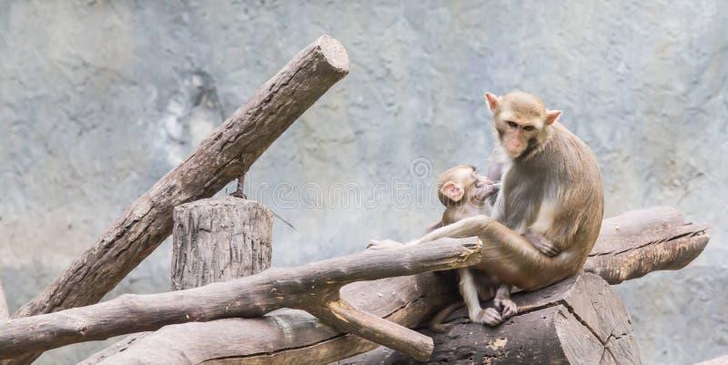 macaco recém-nascido bonito do bebê, comendo no jardim zoológico Chiang Mai TAILÂNDIA foto de stock