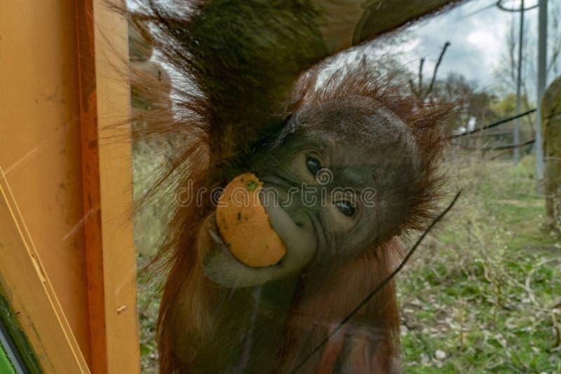 Macaco recém-nascido do orangotango do bebê do jardim zoológico fotografia de stock royalty free