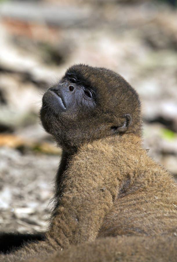 Macaco Red Howler imagens de stock