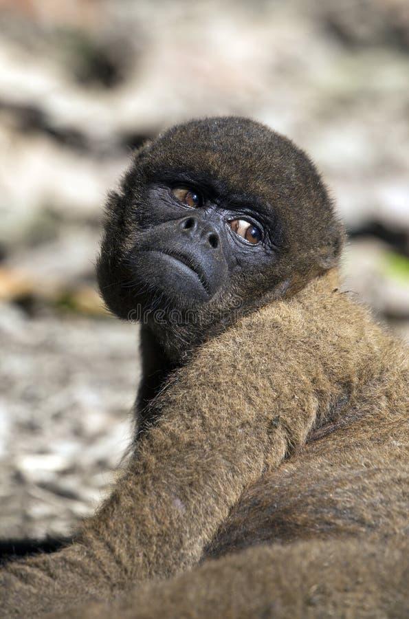 Macaco Red Howler foto de stock