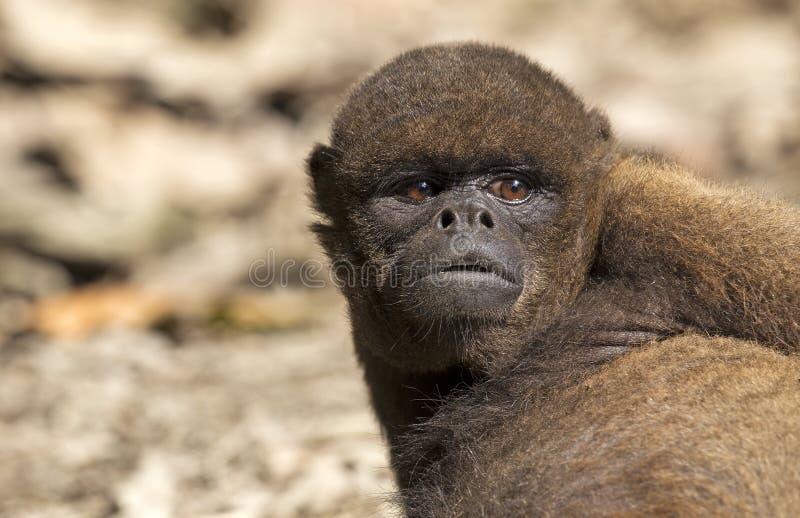 Macaco Red Howler imagem de stock
