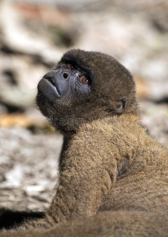 Macaco Red Howler imagens de stock royalty free