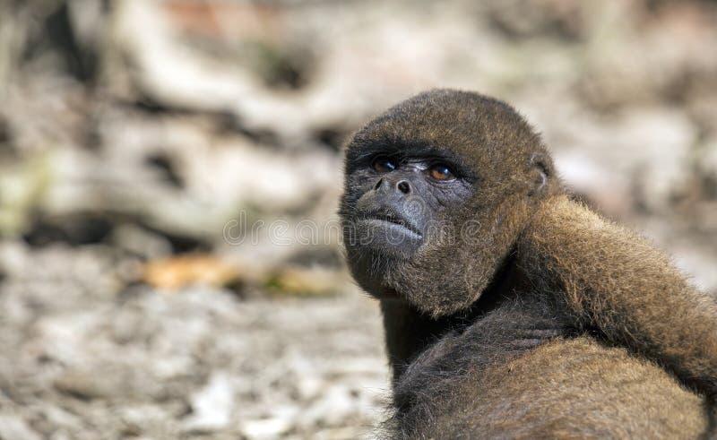 Macaco Red Howler imagem de stock royalty free