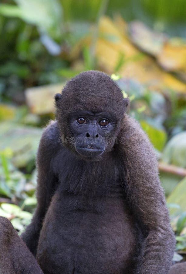 Macaco Red Howler fotografia de stock