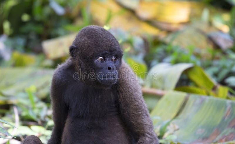 Macaco Red Howler fotos de stock