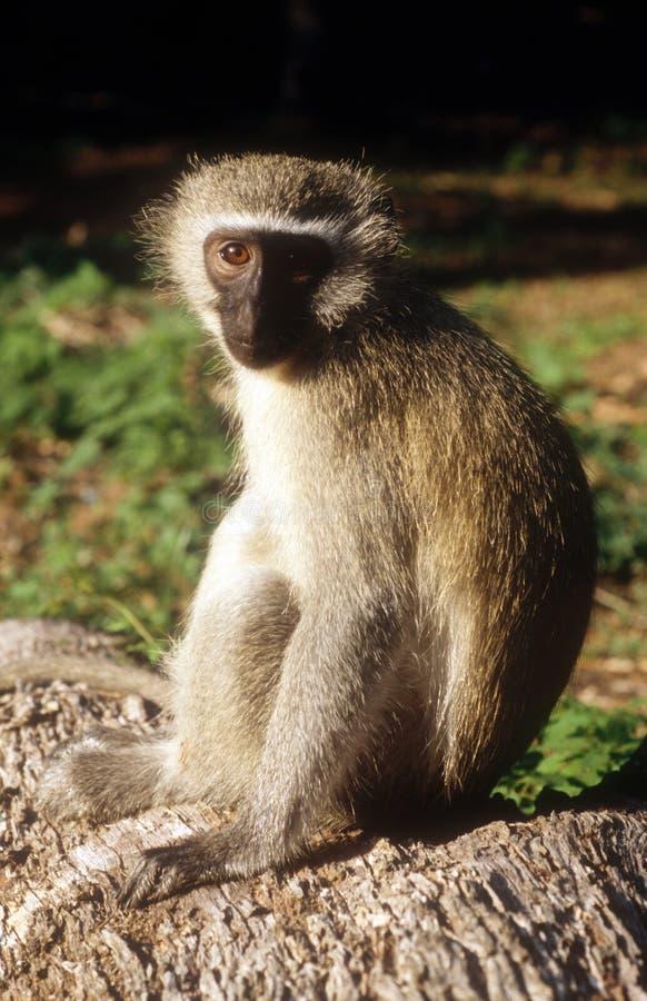 Macaco sábio foto de stock royalty free