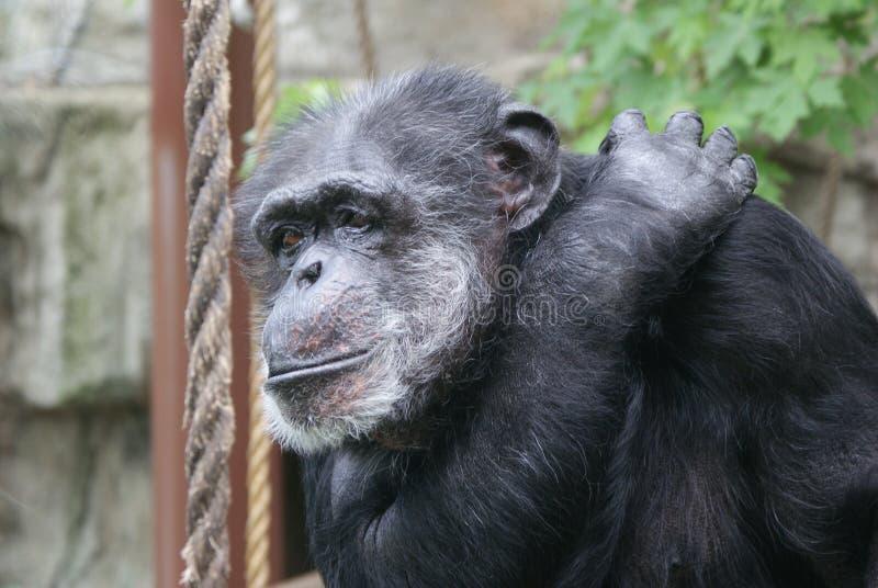 Macaco só imagens de stock