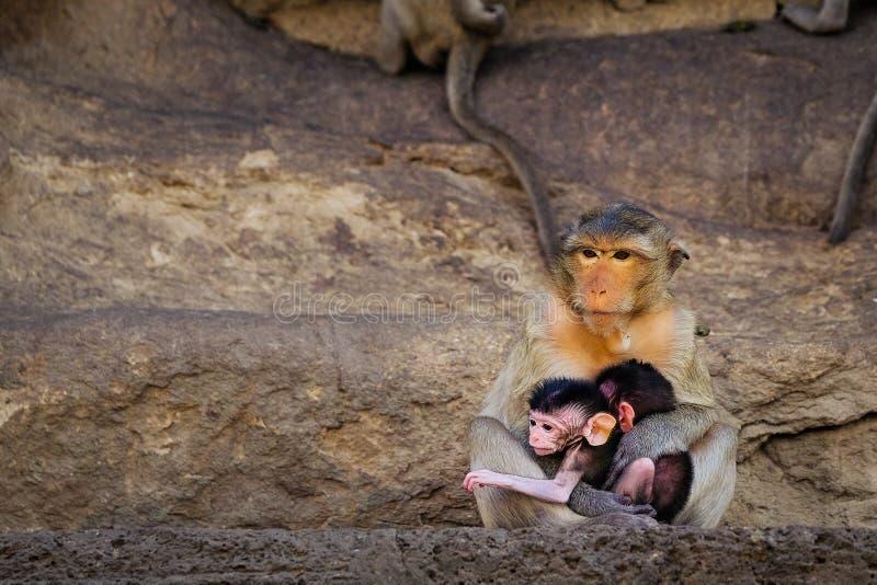 Macaco selvagem asiático tailandês que faz várias atividades fotos de stock
