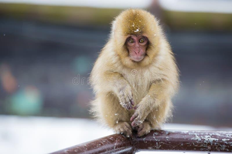 Macaco selvagem da neve do bebê na cerca foto de stock royalty free