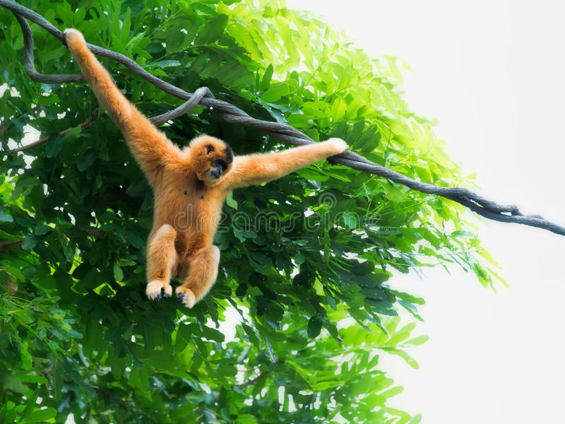 Macaco selvagem de Gibbon fotos de stock