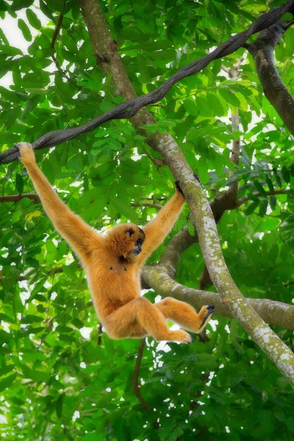 Macaco selvagem de Gibbon imagens de stock