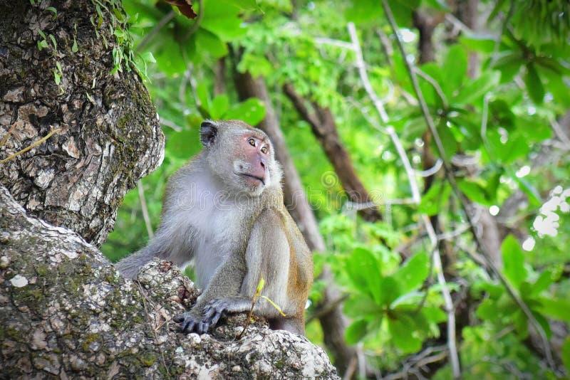 Macaco selvagem do homem alfa imagem de stock royalty free