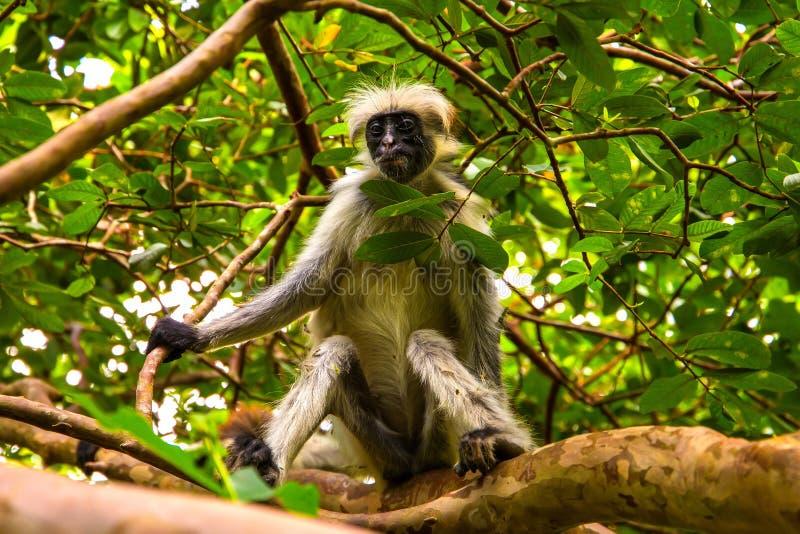 Macaco selvagem na selva em ?frica fotos de stock royalty free