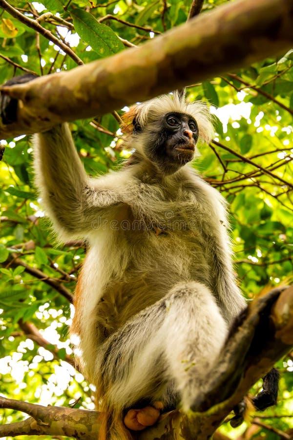 Macaco selvagem na selva em ?frica fotografia de stock