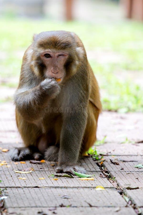 Macaco selvagem que pisc com um olho ao comer a laranja foto de stock