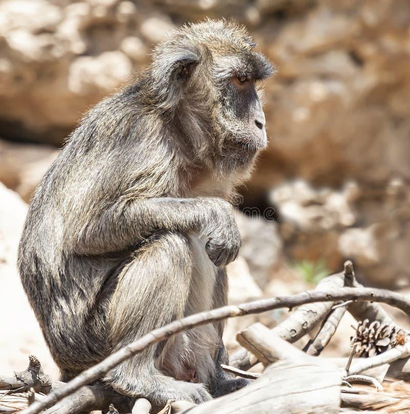 Macaco triste foto de stock royalty free