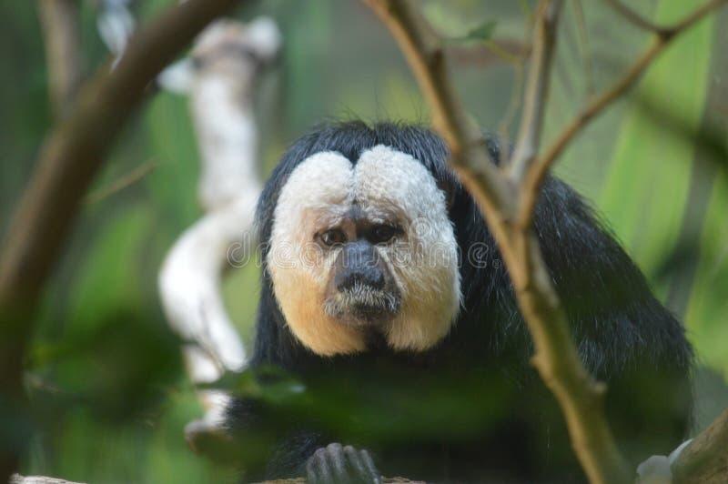 Macaco triste imagens de stock royalty free