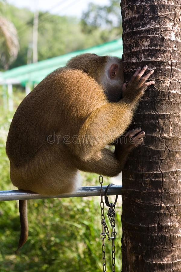 Macaco triste acorrentado a uma tubulação imagem de stock royalty free