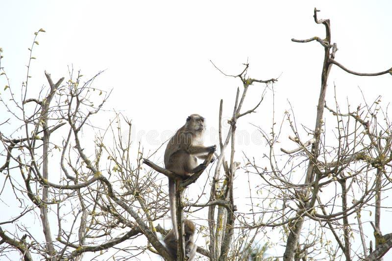 Macaco velho que senta-se e que olha em uma vigia em uma árvore imagem de stock