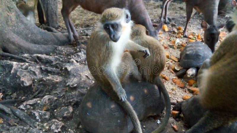 Macaco verde imagens de stock